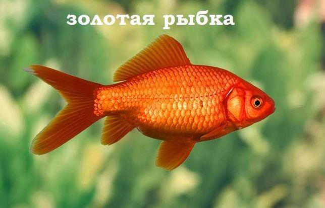 """Золотая рыбка (самая узнаваемая) в зоомагазине """"ЖИВОЙ МИР"""""""