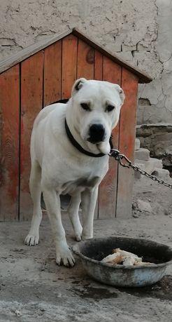Продам собаку. Породистая. Туркменской породы