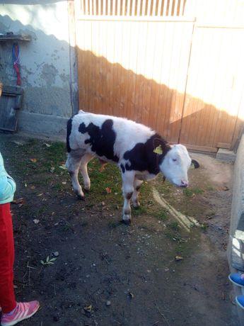 Vand vitel 9 săptămâni