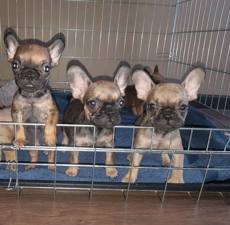 Продам щенков бульдогов