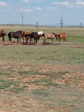 Табун лошадей молодняк
