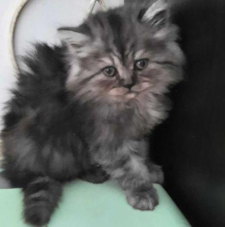 Vand 3 pisicute persane