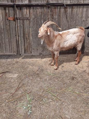 Продам козла кастрата