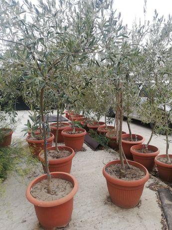 Vând măslini din Sicilia!