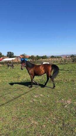 Vând cal pentru echitatie