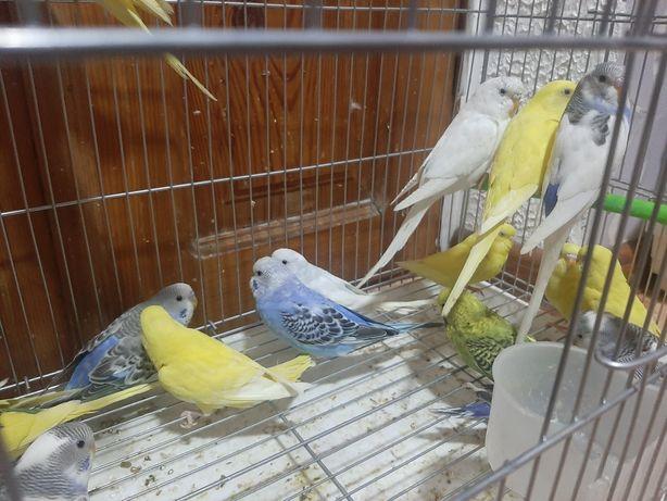 Ввлныстые папугаи