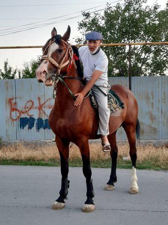 Продам лошадь высоко кровных королей Жеребцу 7 лет