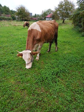 Vând o vaca la alegere