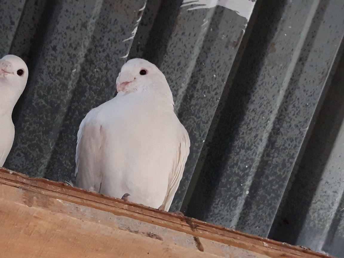 Бели гълъби за сватби и тържества