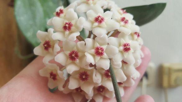Хоя (восъче, восъчно цвете) - Hoya carnosa