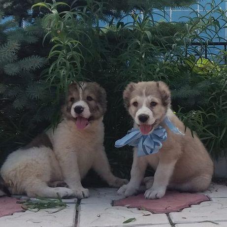 Продам щенков САО с питомника Дары Востока