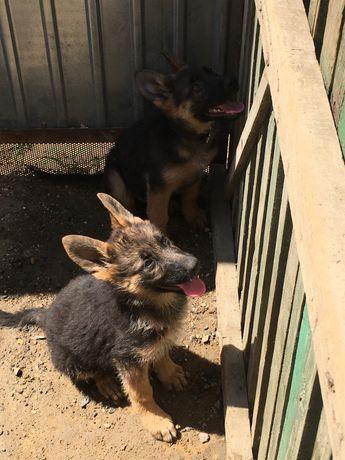 Продам немецкую овчарку щенок