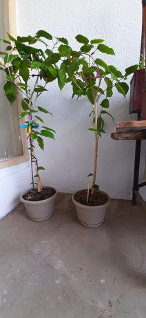 Trandafir japonez h100cm, perfect sănătos, in ghiveci cu farfurie,