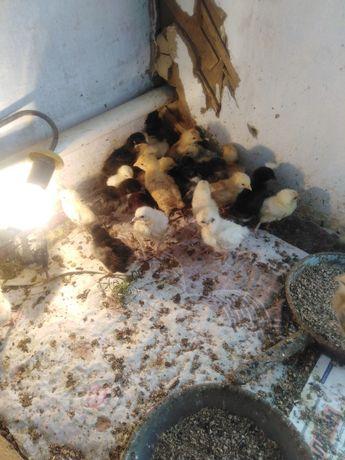 Цыплята несушки помесь с брама двух недельные пропоины, от домашних не