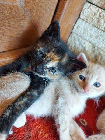 Donez pisoi/pui de pisica, 2 luni