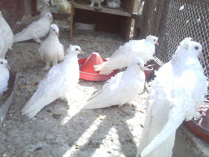Porumbei Uriasi M, Maria Stuart, Creți F