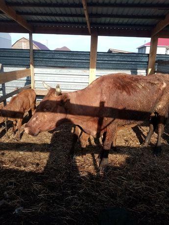 Корова-2теленка сыйыр қосшы ауылында