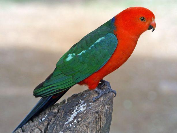 Продам самца Королевского попугая (Alisterus scapularis).