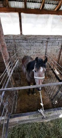 Лошадь, Семіз Жылқы