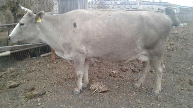 продам корову мясной породы