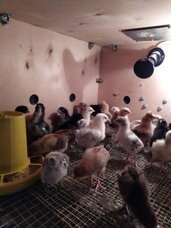 Цыплята Балапан в городе