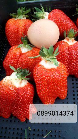 Целогодишен разсад ягоди и малини