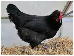 есть в продаже черные курицы