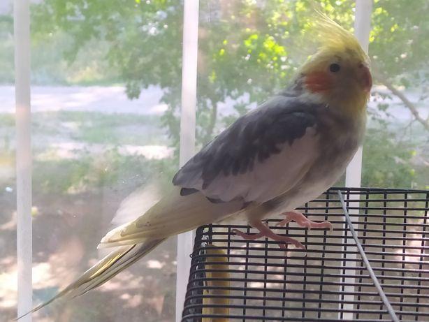 Здравствуйте!! Продаю попугая. Название вида: Корелла