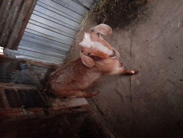 Поменяю козу на бараны