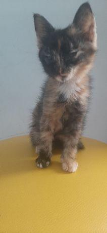 Отдам котенка, девочку. Ей 3 месяца.