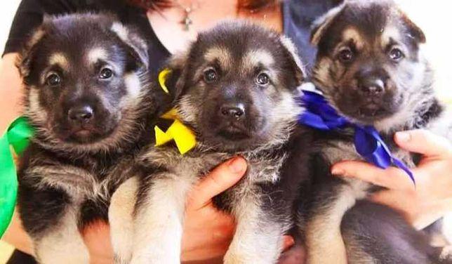 Лучшие Смелые Крупные щенкиВосточно Европейской Овчарки По Низкой Цене