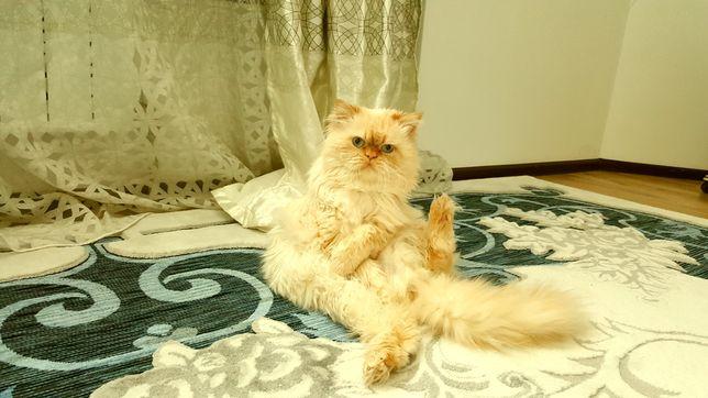В добрые руки, кот перс кастрированный