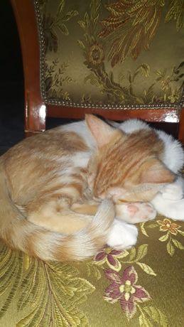 Котёнка скотыш девочка