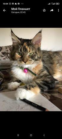 Продаю кошку и кота  мейн-кун