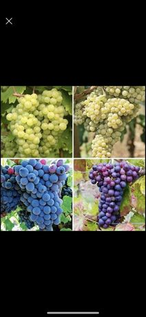 Producator vindem Struguri de vin si masă