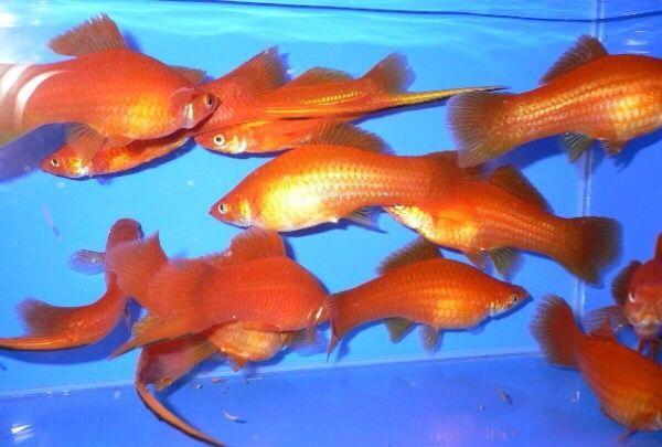 Продаются оранжевые и крапчатые очень красивые мирные рыбки