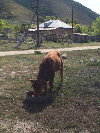 продадим бычка