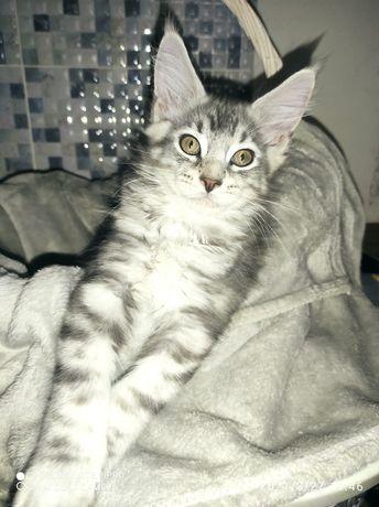 Продаются клубные котята порода Мейн Кун