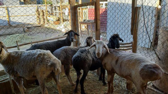 Семіз Қой тоқты овец