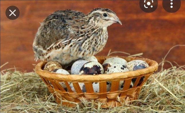 Бөдене жұмыртқасы. Яйца перепенный