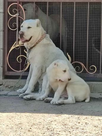 Белоснежный щенок САО Алабай