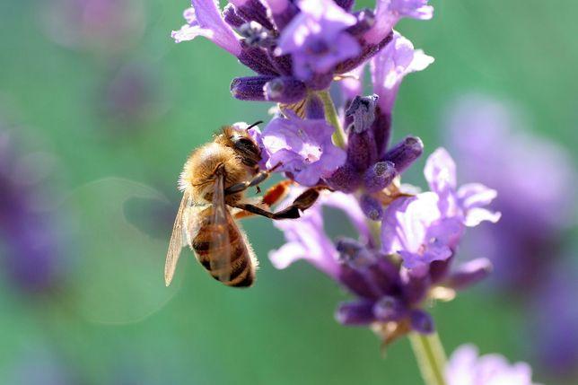 Lazi albine 10 rame + magazii 1/2.