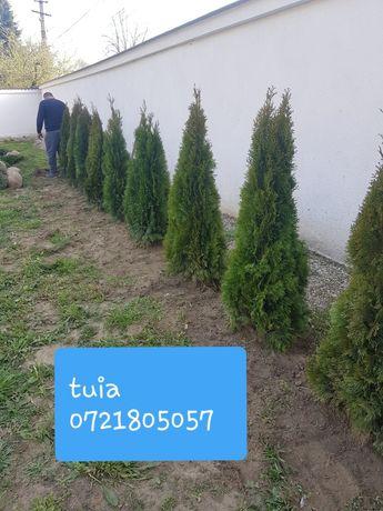 Plante ornamentale: tuia smarald/Spirala/pomi pon/tei/mesteacăn/ETC