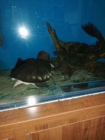 Черепаха свинорылая