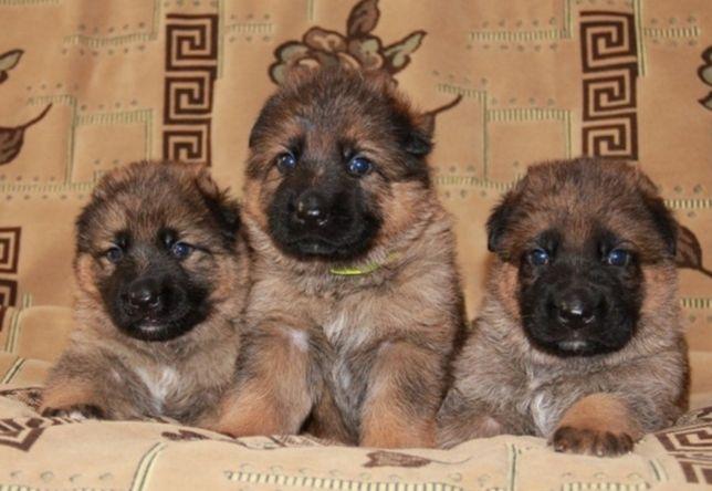 Крупные щенки овчарки