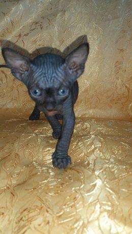 Коричневая кошечка котенок