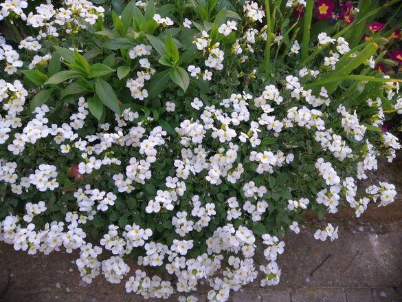 Цветя бял арабис