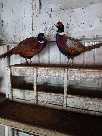 Fazanite si fazani comuni