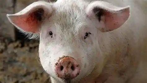 Свинина.свежий забой.