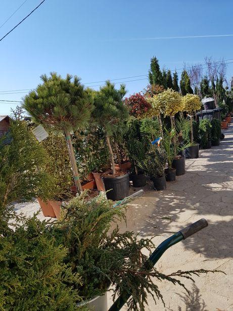 Vand plante ornamentale forme magnolia brazi